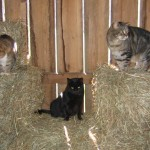 Feral barn cats.